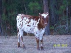 Bull calf - Tornado Alley 1/4 x Proud Mary